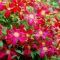 Clematis 'Madame Julia Correvon' • C2 L • 70 cm