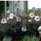 Hibiscus  'Kopper 's King' • C3 L • 35/40 cm
