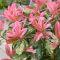 Photinia fraseri 'Pink Crispy' • C3 L • 30/35 cm