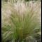 Stipa tenuissima 'Pony Tails' • P15 •15-20 cm