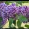 Syringa vulgaris  'Sensation' • C 3 L • 30/40 cm