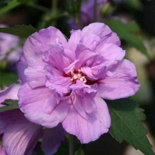Hibiscus syriacus 'Ardens' • P22 • 40/60 cm