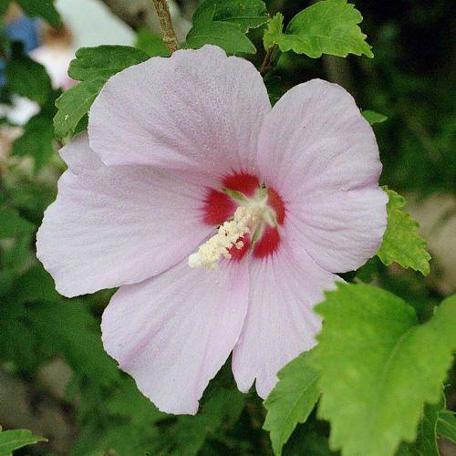 Hibiscus syriacus • P22 • 60/80 cm