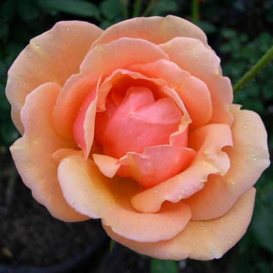 Aprikot Kvin (Aprikot Queen  /  Apricot Queen Elizabeth  ®)