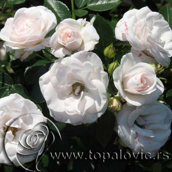 Aspirin (Aspirin ® Rose)