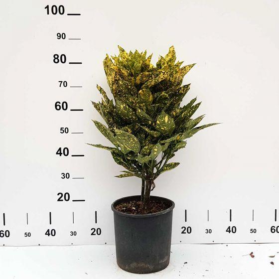 Aucuba japonica 'Crotonifolia' • C10 L • 60/80 cm