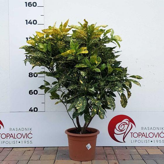 Aucuba japonica 'Crotonifolia' • C15 L • 80/100 cm