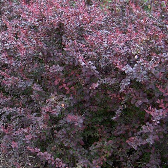 Berberis thun. 'Atropurpurea' • P18 • 60/80 cm