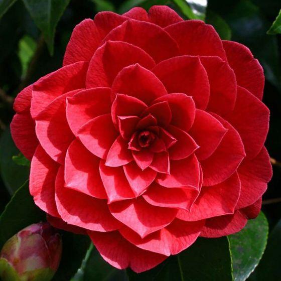 Camellia japonica 'Black Lace' • C7 L • 40/60 cm