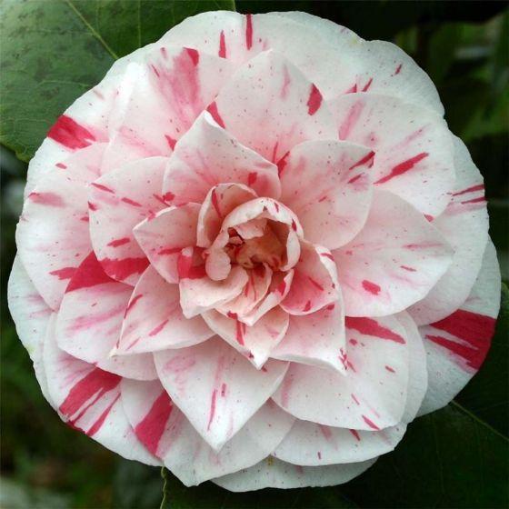 Camellia japonica 'Bonomiana' • C7 L • 40/60 cm
