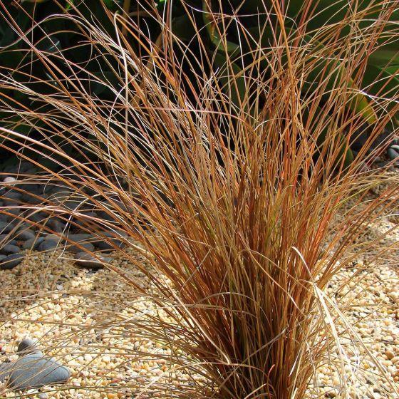 Carex comans 'Bronze'  • P15 • 20/30 cm