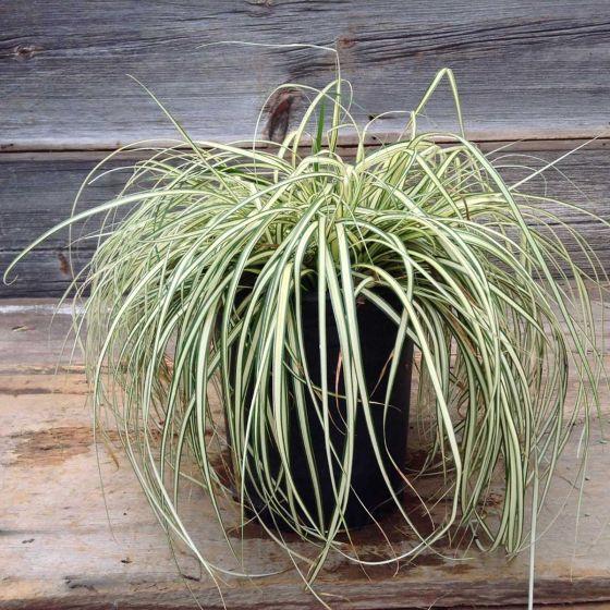 Carex oshimensis 'Evergold'  • P15 • 10/20 cm