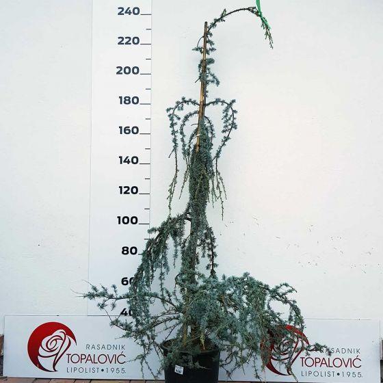 Cedrus atlantica 'Glauca Pendula' • C25 L • 150/175 cm