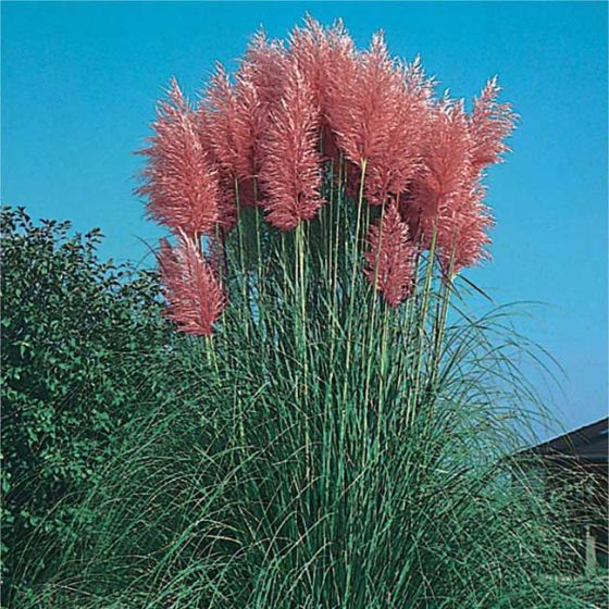 Cortaderia selloana 'Rosea'• P15
