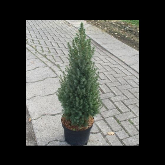 Picea glauca 'Conica December' •C 3 L• 40/50 cm