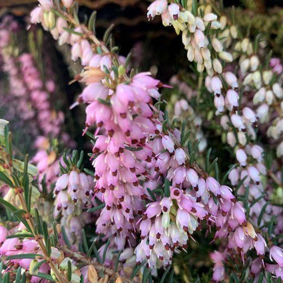 Erica carnea - Pink • P10 • 10/20 cm