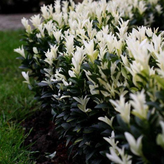 Euonymus jap. 'Paloma Blanca' • P15 • 20/40 cm
