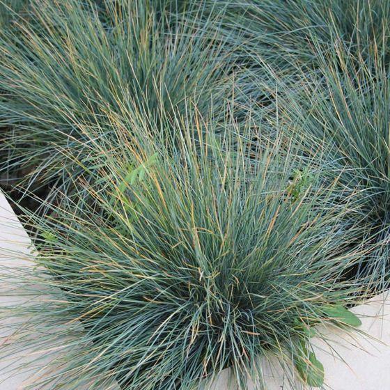 Festuca glauca 'Elijah Blue'  • P15 • 10/15 cm