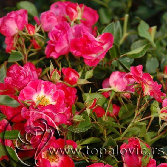 Fuksija Mejandekor (Fuchsia Meillandecor ®)