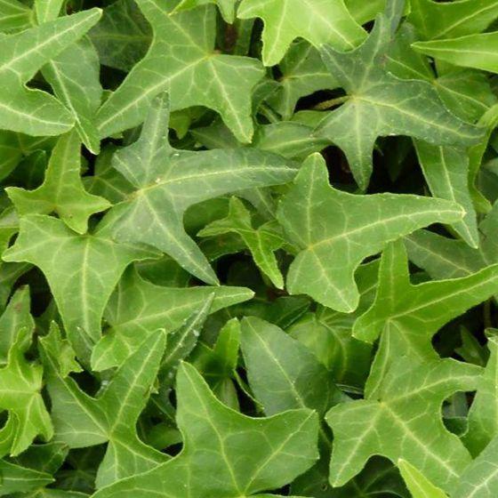 Hedera helix 'Sagittifolia' • C10 L • 175/200 cm