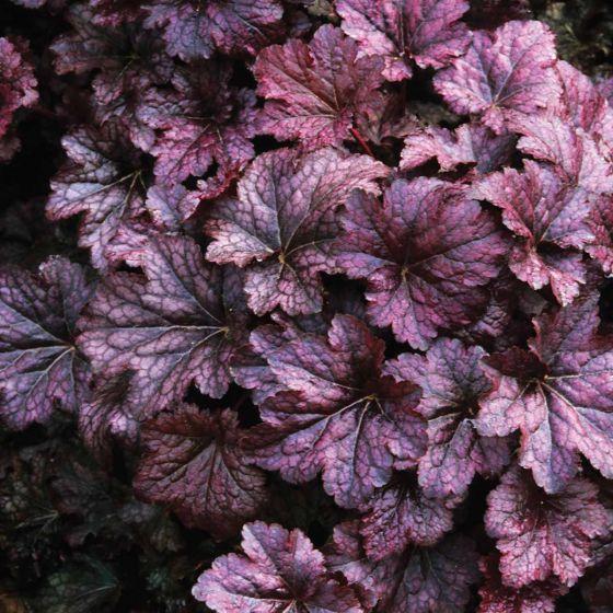 Heuchera villosa 'Palace Purple' • P9 • 10/20 cm
