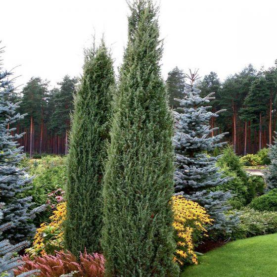 Juniperus com. 'Hibernica' • P15 • 20/40 CM