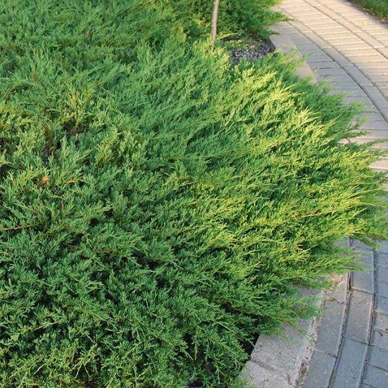 Juniperus hor. 'Andorra Compact' • P15 • 15/20 cm