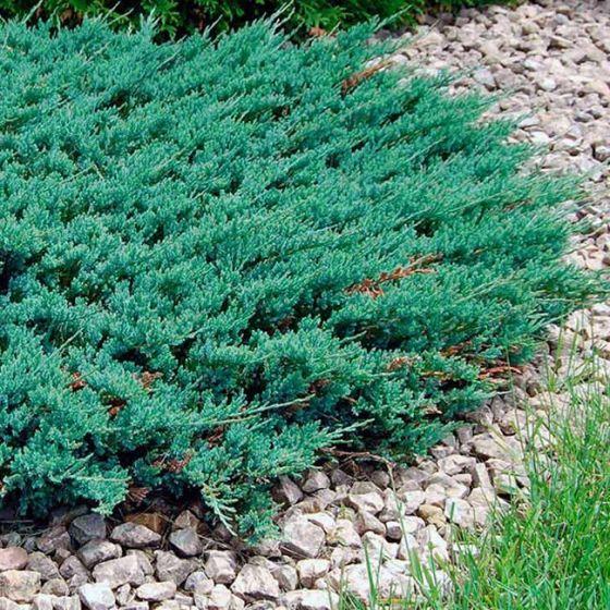 Juniperus hor. 'Blue Chip' • P19 • 15/20 cm