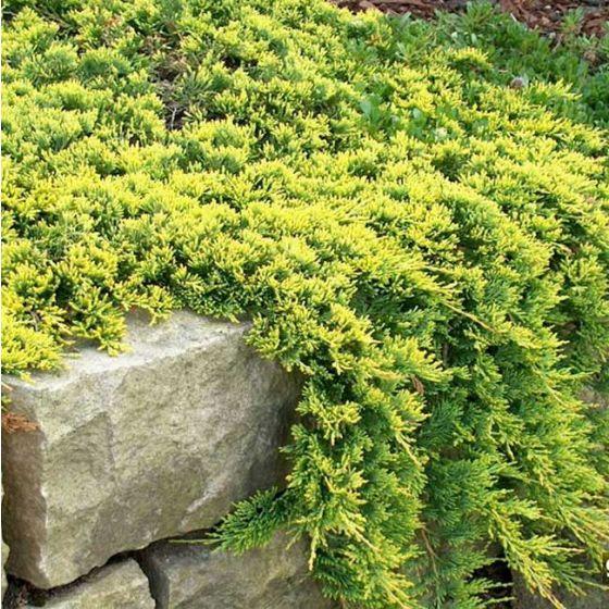 Juniperus hor. 'Golden Carpet' • P19 • 20/40 CM