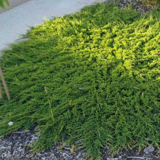 Juniperus hor. 'Prince of Wales' • P15 • 10/20 CM