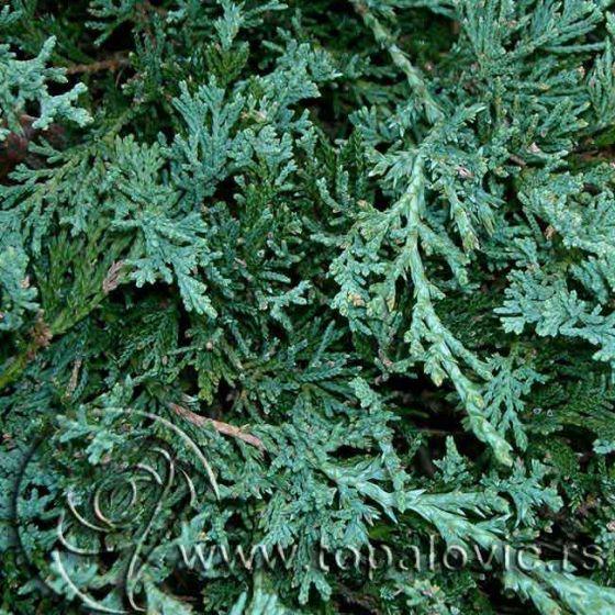 Juniperus horisontalis 'Wiltonii' • P19 • 40/60 CM