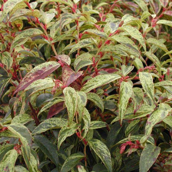 Leucothoe fontanesiana 'Rainbow' • C2 L • 20/25 cm