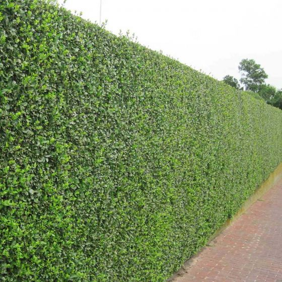 Ligustrum ovalifolium  • Goli koren • 20/30 cm
