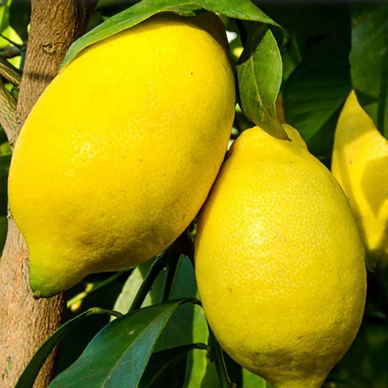 Limun Mesečar • C12 L • Kalem 40 cm