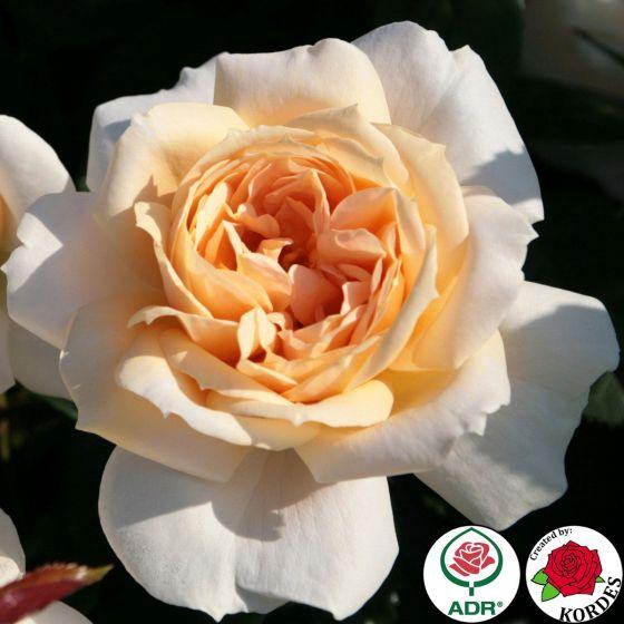 Lions Rose (Lions -Rose ®)