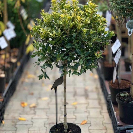 Osmanthus heterophyllus 'Goshiki' • C7 L • Kalem 60 cm