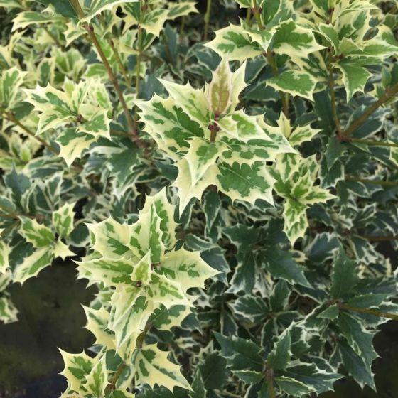 Osmanthus heterophyllus 'Variegatus' • P17 • 20/25 cm