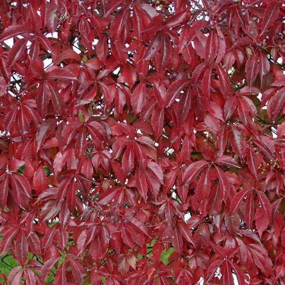 Parthenocissus quinqefolia • P17 • 60/80 cm