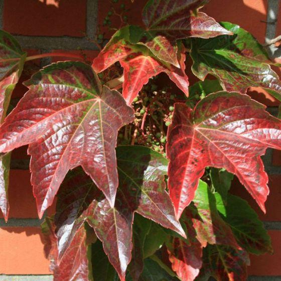 Parthenocissus tric. 'Veitchii' • C3 L • 100/125 cm