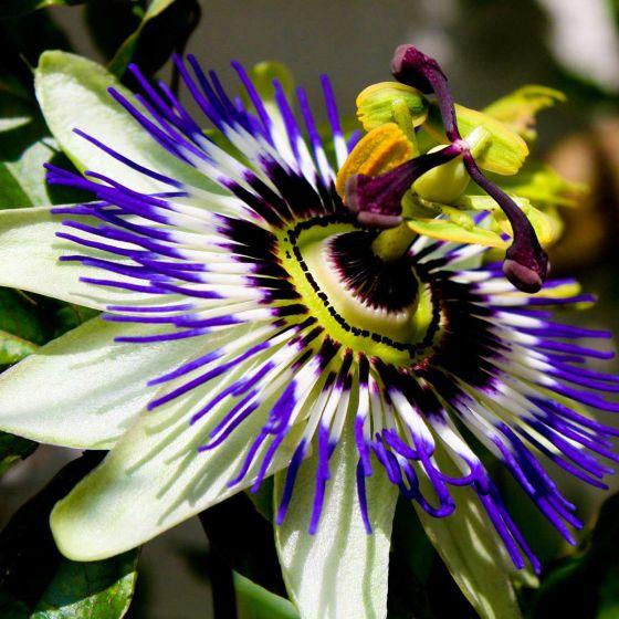Passiflora caerulea • C2 L • 70 cm