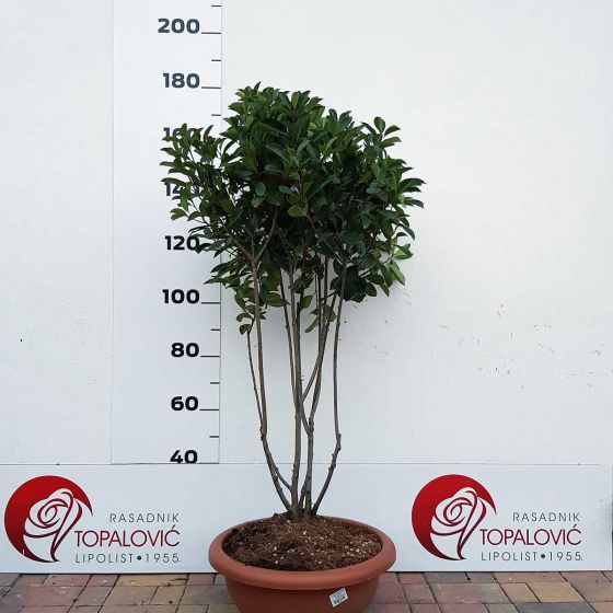 Photinia serrulata 'Red Robin' • C55 L • Multistam