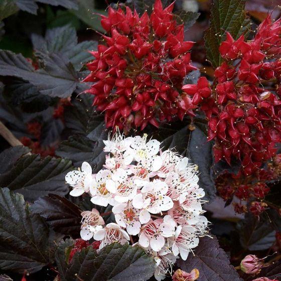Physocarpus opulifolius 'Red Baron' • P15 • 60/80 cm