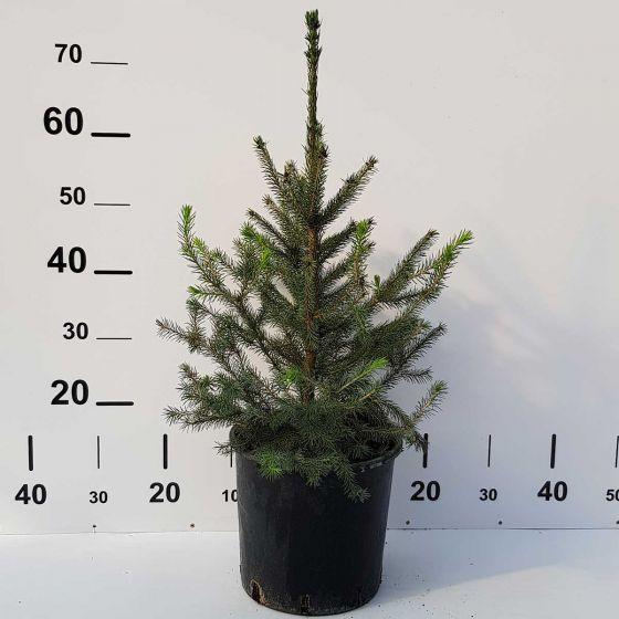 Picea omorica • P22 •  50/70 cm
