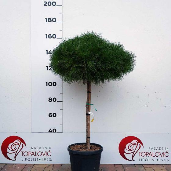Pinus brevifolia • C9 L • Kalem 40 cm