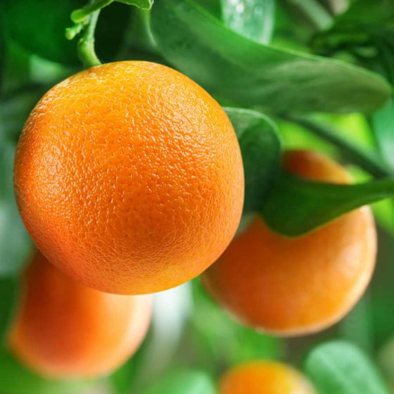 Pomorandža Washington Navel  • P17 • 50/60 cm