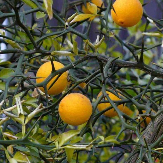 Sibirski limun • Poncirus trifoliata