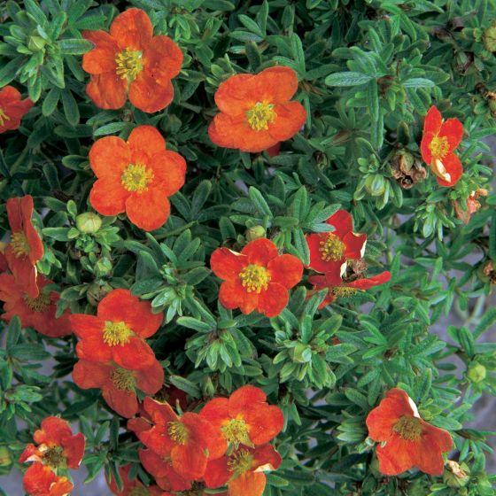 Potentilla fruticosa 'Red Ace' • P17 • 10/20 cm