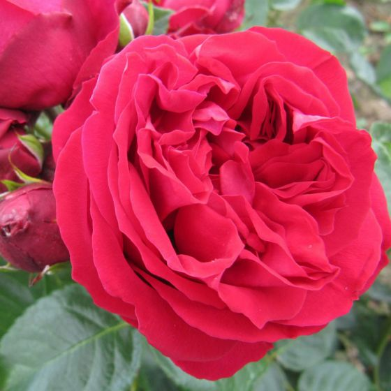 Red Eden Rose (Red Eden Rose ®)