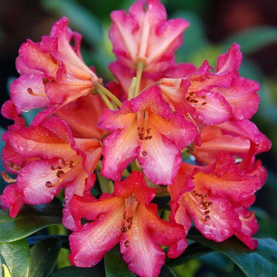 Rhododendron 'Scyphocalix' • C5 L • 30/40 cm