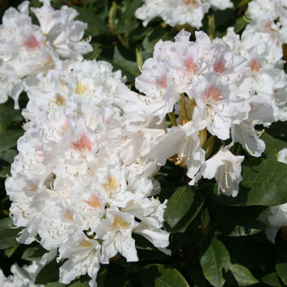 Rhododendron 'Cunningham's White' • C4 L • 30/40 cm